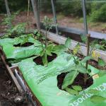 Tomater i plantesæk i drivhuset