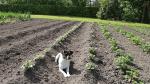 Kartofler i 2 rækker_med hund