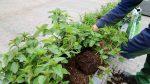 krydderurter jespers planteskole